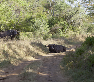 Cape Buffalo in the hunting road