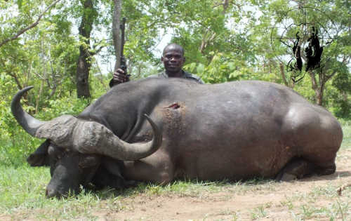 cape-buffalo-trophy