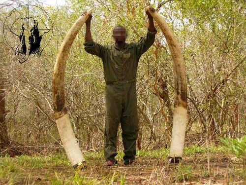 elephant-tusk-hunt2