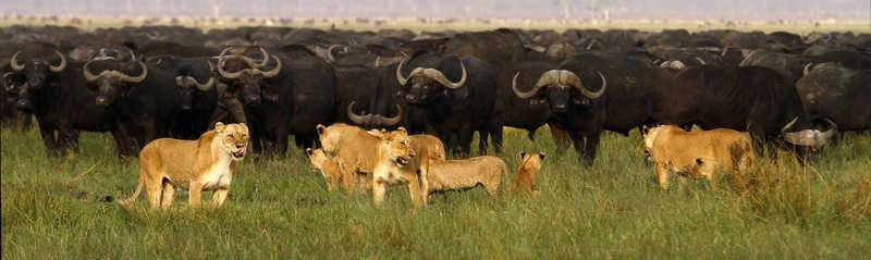 Moyowoshi-Buffalo-hunting